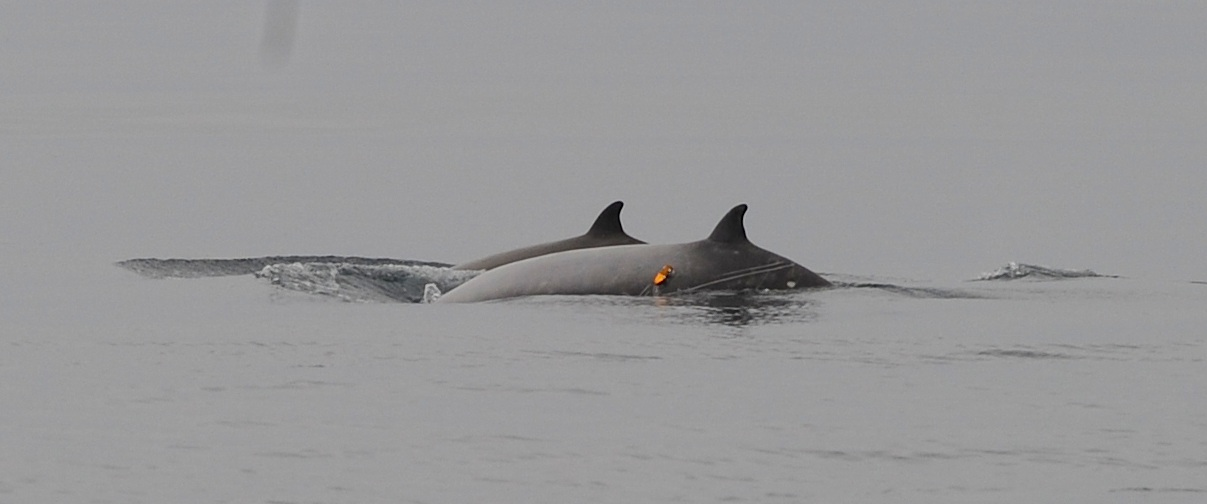 Two tagged beaked whale's visibly gliding through the water.