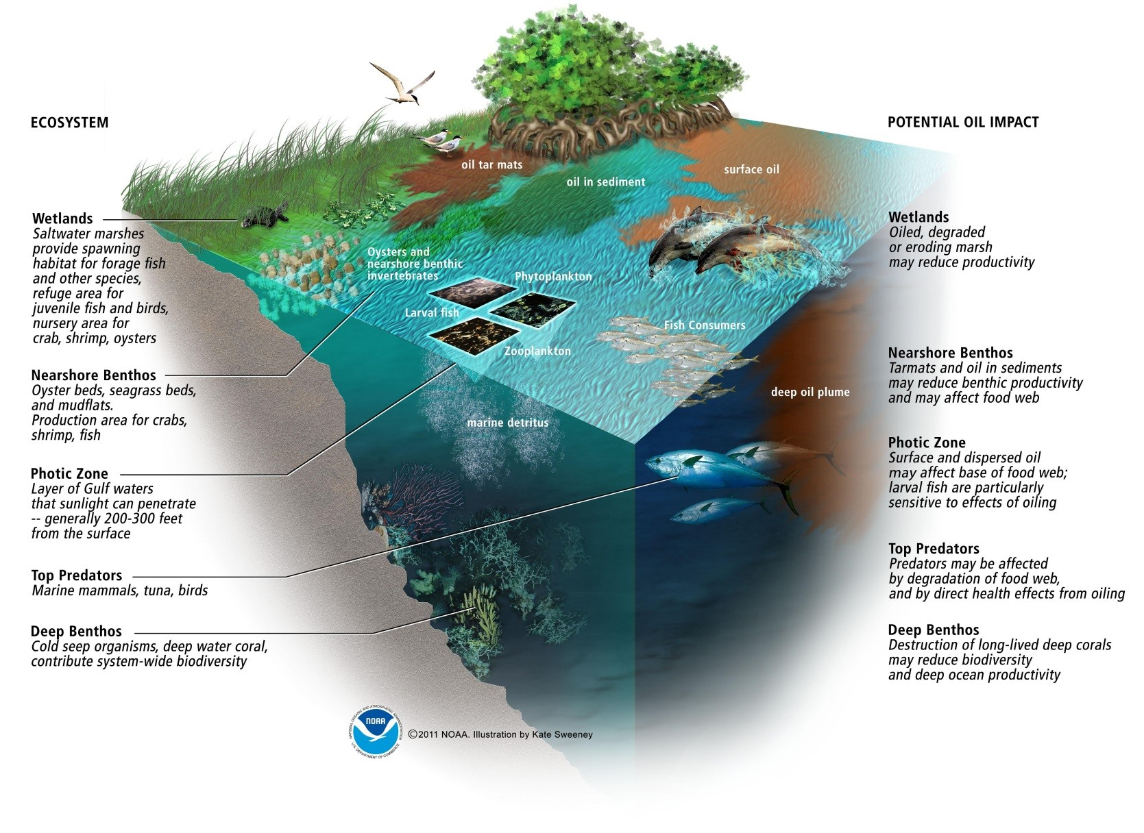 An infographic depicting an ecosystem with oil impacting various areas.