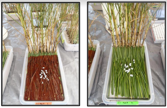 The left image shows an oiled marsh sample, the right shows a clean marsh grass sample.