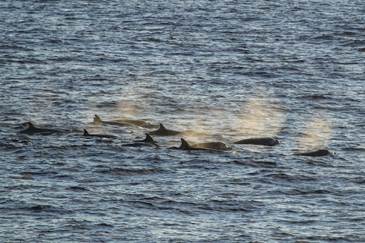 A group of whales breaching the surface.