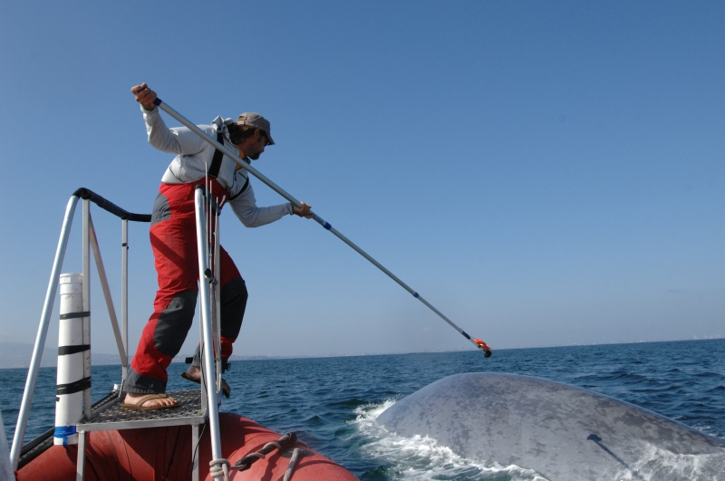 A man on a boat using a long metal instrument to place an item on a whale.