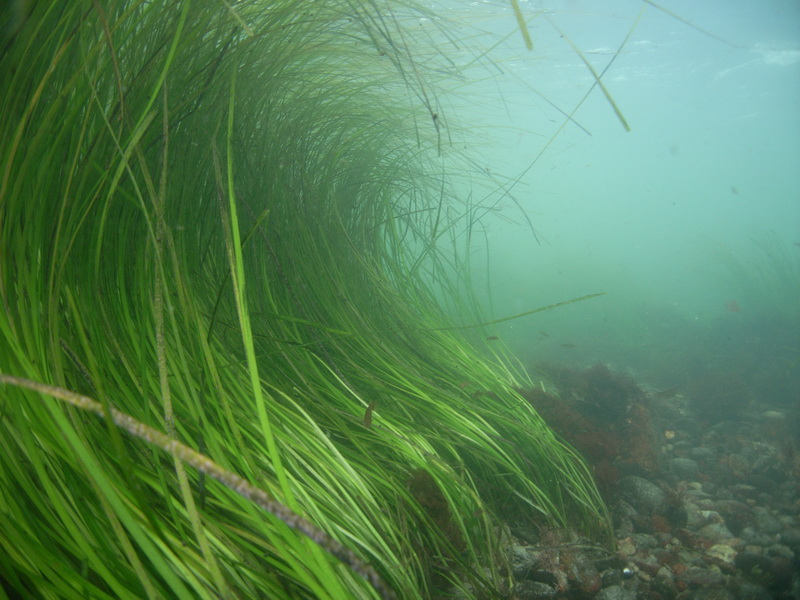 An underwater shot of eelgrass.