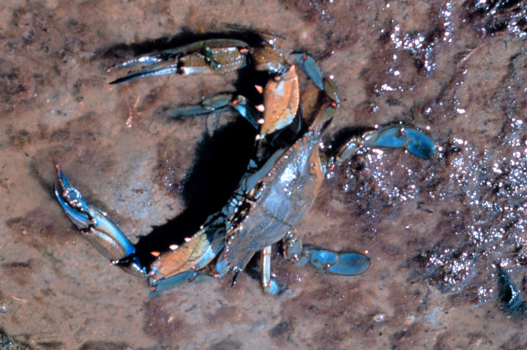 A blue crab on a muddy beach.