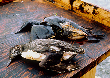 Two dead oiled birds.