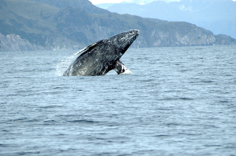 A gray whale emerging from the water.