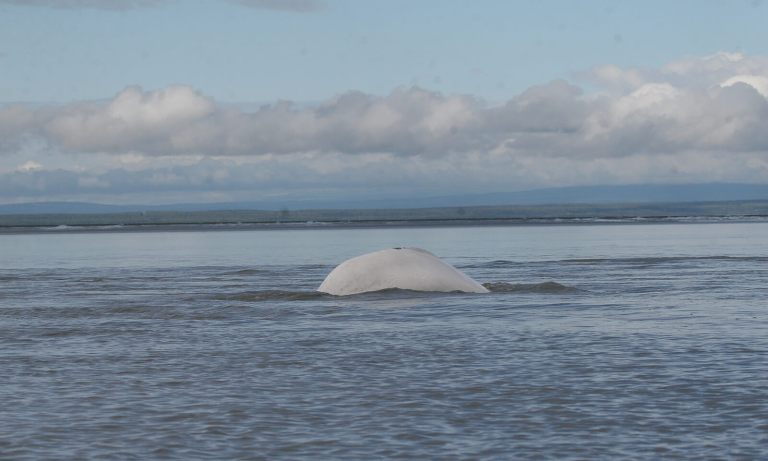 A beluga whale seen breaking the surface of the water.