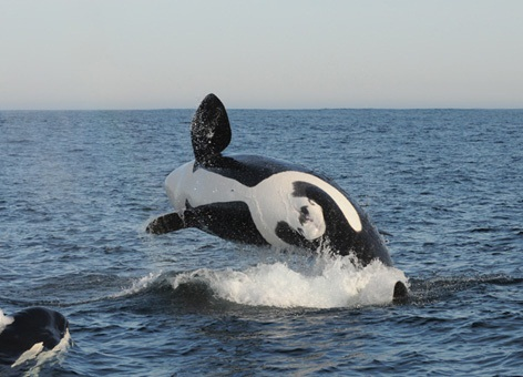 An orca breaching the water.