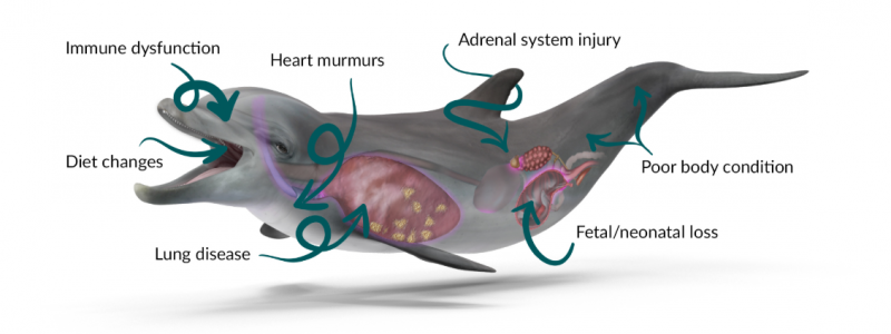 An illustration of a dolphin labeling injuries: immune dysfunction, diet changes, lung disease, heart murmurs, adrenal system injury, fetal/neonatal loss, and poor body condition.