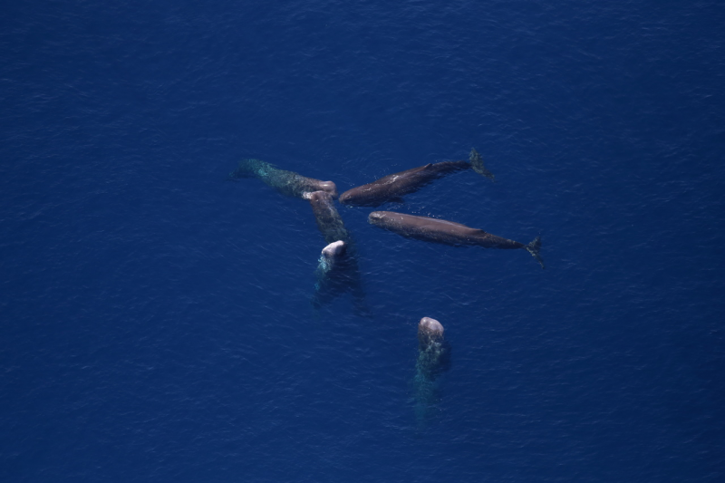 An aerial view of a group of whales.