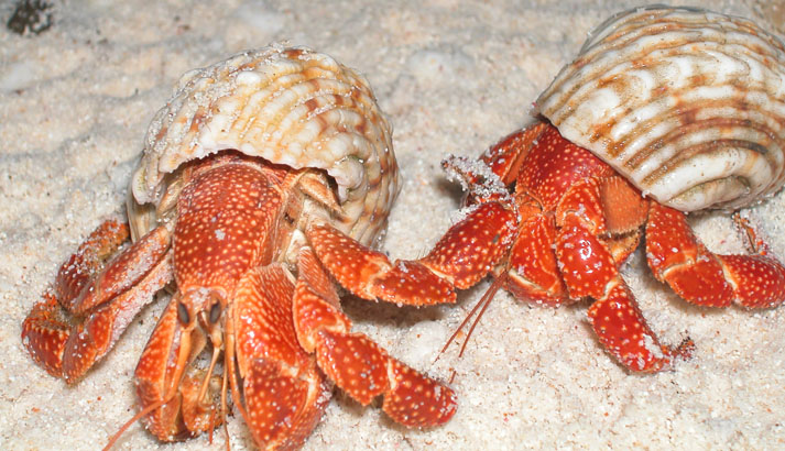 Two hermit crabs.