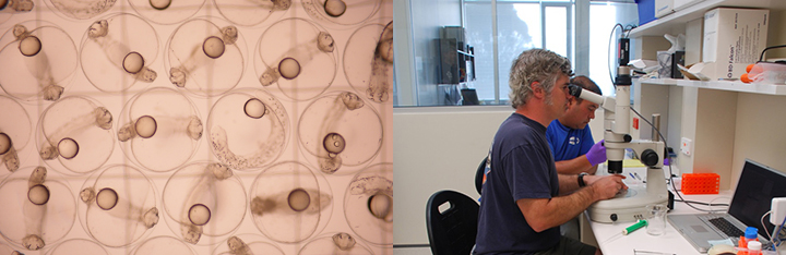 An image on the left shows a microscopic view of bluefin tuna eggs. The image on the right shows a man looking through a microscope.