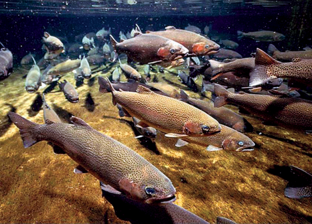 Underwater image of salmon swimming.