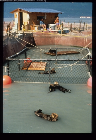 Sea otters in a confined pen.