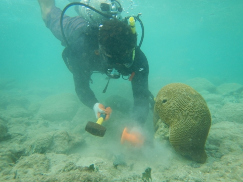 A diver reattaching coral underwater.