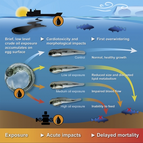 An infographic depicting the impacts of oil on cod embryos after varying levels of exposure.
