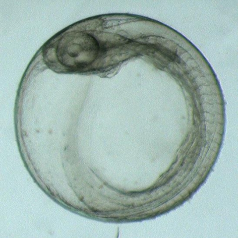 A fish embryo.