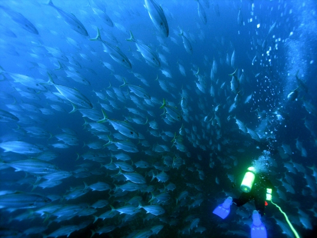 A diver swimming through a sea of fish.