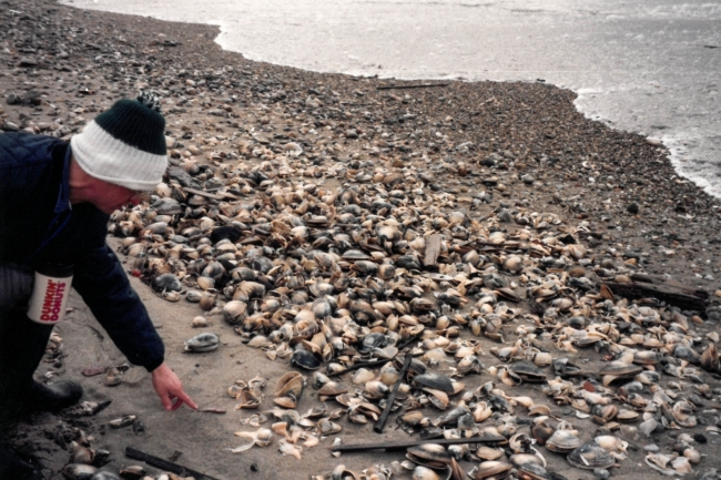 A person looking at dead shellfish on a rocky shore.