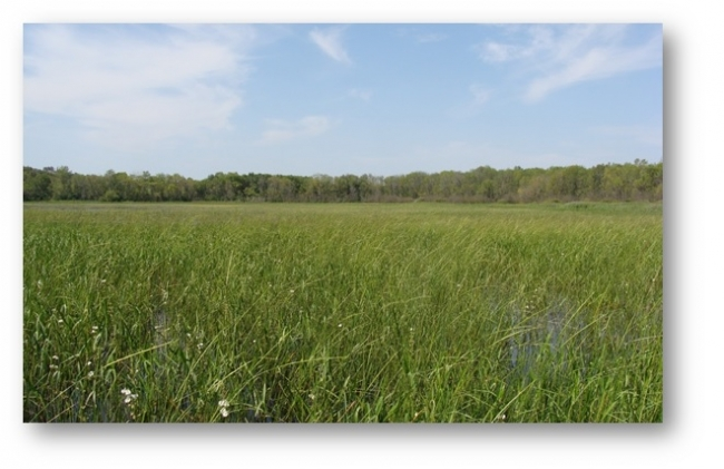 A field of wild rice plants.