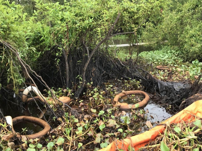 Pollution boom and sorbent in an area of oiled vegetation.