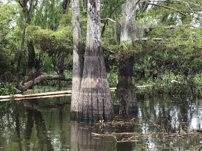 A tree in water with a visible line of oil on the tree above the water line.