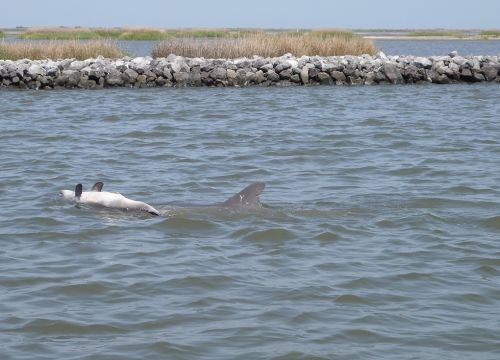 A dolphin pushing a dead calf through the water.