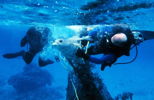Two divers assisting a seal stuck in a fishing net.