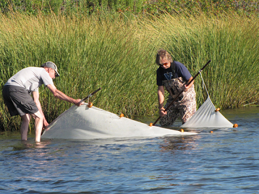 Two people in water near a marsh with a fishing seine.