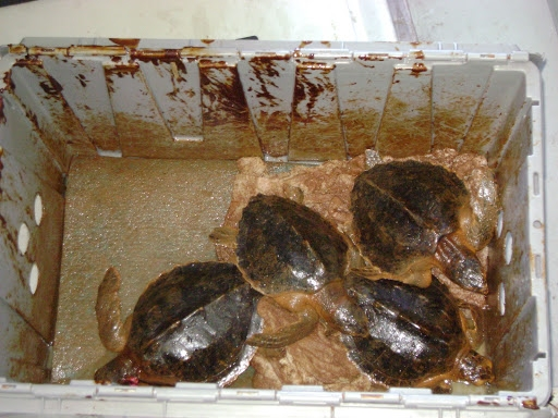 Four oiled juvenile sea turtles in a box.