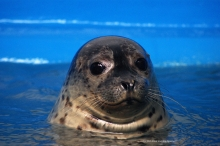 A harbor seal pokes its head above water and stares into the camera.