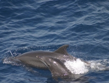 A bottlenose dolphin calf and her mother.