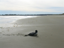 A loon on a beach.