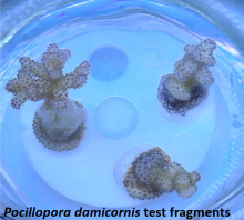 "Three young corals labeled as ""Pocillopora damicornis test fragments."""