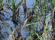 Oil in marsh vegetation.