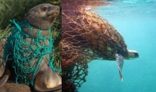 A seal, left, and a turtle, right, tangled in derelict fishing line.