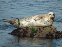 A harbor seal lying on a rock surrounded by water.