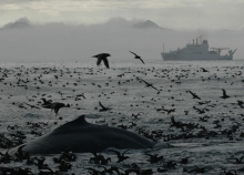 A whale breaking the water's surface with birds flying around and a ship in the background.