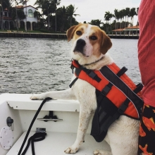 A dog in a life jacket.