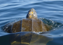 A leatherback turtle gliding through the water.