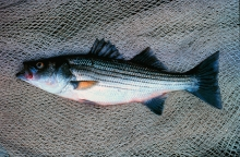 A striped bass on a fishing net.