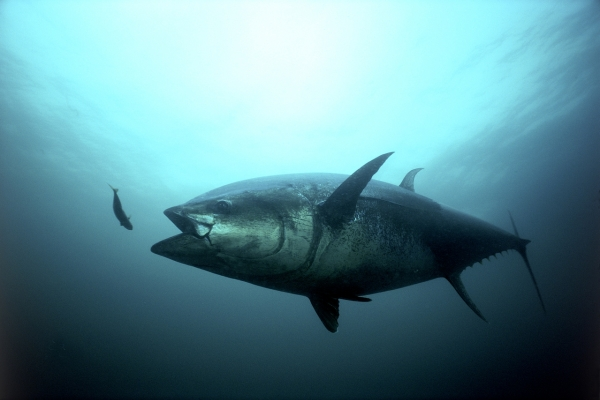 An underwater image of a bluefin tuna.