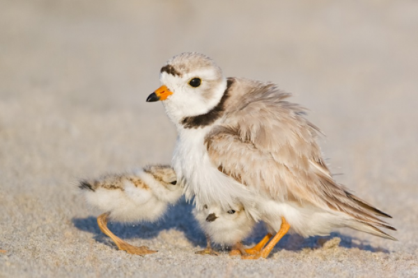 A bird and her two babies in the sand.