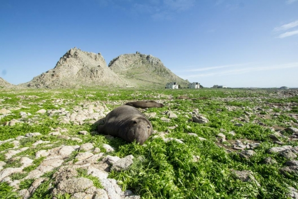A seal lying on a green swath of land with rocky outcrops in the background.